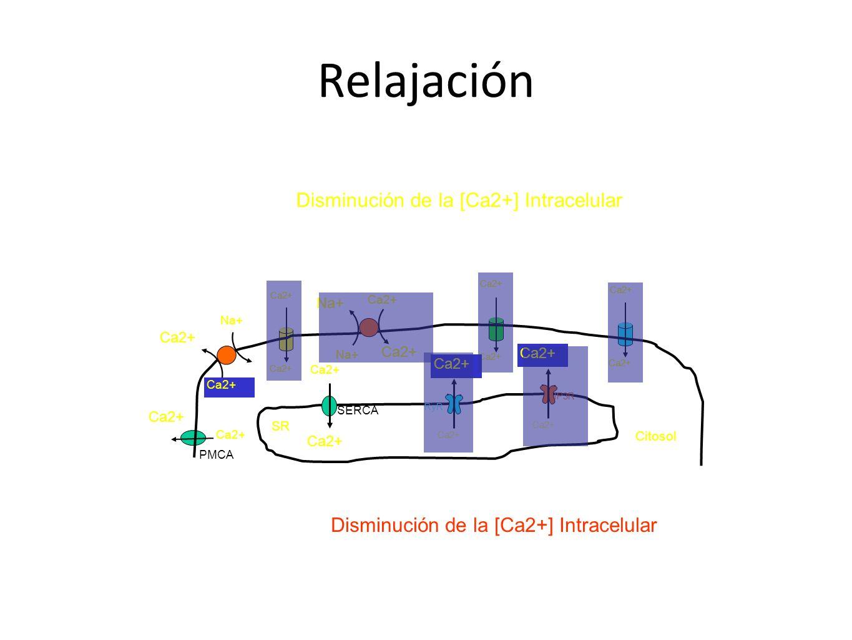 Relajación Disminución de la [Ca2+] Intracelular